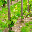 Grapevine in the spring — Foto de Stock