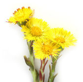 Coltsfoot (Tussilago farfara) — Stock Photo
