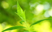 Tea tree (Thea sinensis). — Stock Photo
