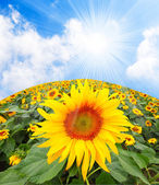Sun flower against blue sky — Stock Photo
