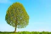 Small-leaved Lime tree — Stock Photo
