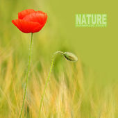 Red poppy (Papaver rhoeas) with out of focus poppy field in background. — Stock Photo