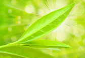 Tea tree leaves — Stock Photo