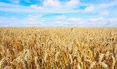 Field barley — Stock Photo
