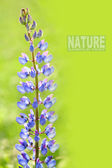 Large-leaved Lupine with space — Stockfoto