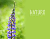 Large-leaved Lupine with space — ストック写真