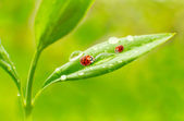 Ladybugs on leaves — Stock Photo