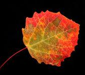 Arce-hoja de otoño — Foto de Stock