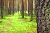 Early morning in a pine forest — Stock Photo