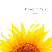 Banner with beautiful sunflower. — Stock Photo