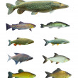 Stock Photo: Great collection of freshwater fish