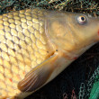 The Common carp — Stock Photo