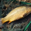 The Common carp — Stock Photo #34672323