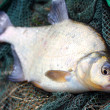 Stock Photo: Common bream