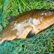 Stock Photo: Carp on fishnet