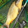 The Common carp (Cyprinus carpio) in landing net. — Stock Photo #34672617