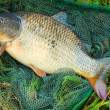 Common carp in landing net. — Stock Photo