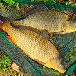 Fish on fishing net. The Common Carp ( Cyprinus Carpio ) — Stock Photo #34673185