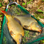 Fish on fishing net. The Common Carp ( Cyprinus Carpio ) — Stock Photo
