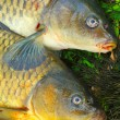 Fish on fishing net. The Common Carp ( Cyprinus Carpio ) — Stock Photo #34673209
