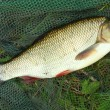 Stock Photo: Fish on landing net