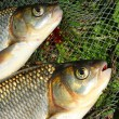 Fish on fishing net. The Common Carp ( Cyprinus Carpio ) — Stock Photo #34673257