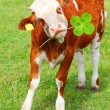Happy calf with four leaf clover. Summer vacations on a countryside concept. — Stock Photo