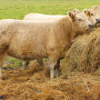 Stock Photo: Galloway cattle.