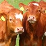 Cute calves cows on a rural meadows. — Stock Photo #34675411