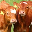 Stock Photo: Cute calves cows on rural meadows.