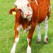 Cute calf cow on a rural meadows. — Stock Photo
