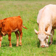 Stock Photo: Cute calf and cow mother