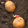 Planting of a germinated potatoes on a bio garden. — Stock Photo
