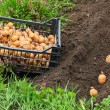 Stock Photo: Planting of potatoes on bio garden. Seasonal work.