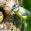 The Blue Tit (Cyanistes caeruleus) feeding her young one. — Stock Photo #34676575
