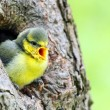 Young Blue Tit (Cyanistes caeruleus). — Stock Photo