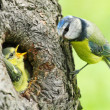 The Blue Tit (Cyanistes caeruleus) feeding her young one. — Stockfoto