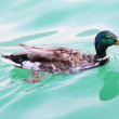 Mallard duck on The Black Lake — Stock Photo #34676677
