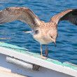 Stock Photo: Young Seagull on board.
