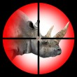The White Rhinoceros in the Hunter's scope.  — Stock Photo