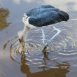 The Marabou Stork (Leptoptilos crumeniferus) hunting in the swamp. — Stockfoto