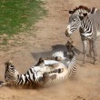 Постер, плакат: Picture of The Zebra rolling in the dust Antiparasitic dust bath