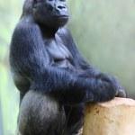 The Gorilla portrait. — Stock Photo
