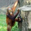 Stock Photo: Young one of Borneorangut(Pongo pygmaeus).