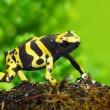 The poison dart frog Dendrobates leucomelas in a rainforest. — Stock Photo