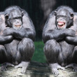 Two chimpanzees have a fun. — Stock Photo