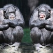 Stock Photo: Two chimpanzees have fun.