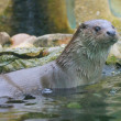 Closeup shot of the European Otter (Lutra lutra). — Stock Photo