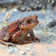 European toad — Stock Photo