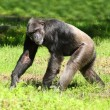 Stock Photo: Chimpanzee walking on a grass.